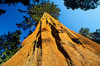 Giant Sequoia Tree Sequoia National Park CA.