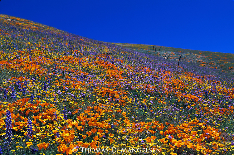 California Poppies and other wildflowers in the Tehachapi Mountains of California.