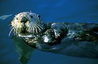 Sea Otter (Enhydra lutris).  Resurrection Bay, Seward, Alaska.