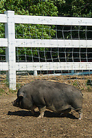 Pig in fenced area with wire