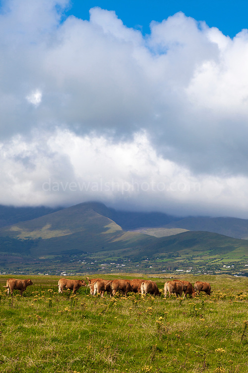 Limousin cattle, Fermoyle Beach and Mount Brandon, on the Dingle Peninsula, Ireland,