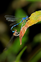 338290014 a wild male and female aztec dancer argia nahuana perch in copula on a plant along empire creek in las cienegas natural area santa cruz county arizona united states