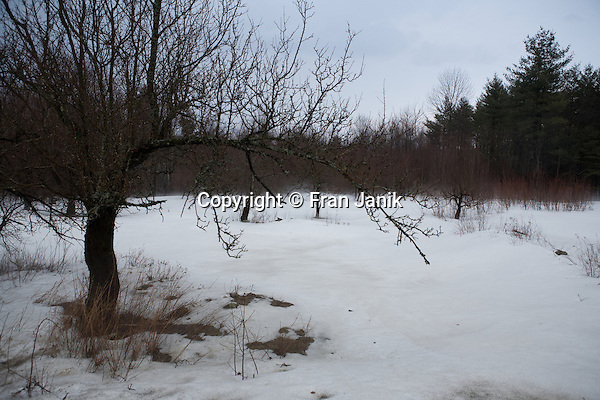 Apple trees are surrounded by fog rising as the snow evaporates on a warm spring day in southern Vermont.