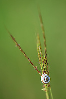 Banded Scrubsnail (Praticolella berlandieriana), resting on grass blade, Dinero, Lake Corpus Christi, South Texas, USA