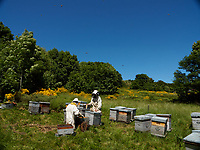 Beekeeping operation: Inspection of the hives during the production of chestnut honey in Ardèche. Verifying the hives, preventing the swarming and adding space for the storage of the honey are indispensable during the nectar gathering season./ Inspection des ruches pendant la production de miel de châtaignier en Ardèche. Vérifier les ruches, prévenir l'essaimage et ajouter de l'espace pour le stockage du miel sont indispensables pendant la saison.