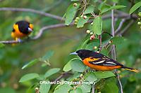 01611-08713 Baltimore Orioles (Icterus galbula) 2 males in Serviceberry Bush (Amelanchier canadensis) Marion Co., IL