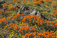 Wild California Poppies (Eschscholzia californica), goldfields (yellow wildflowers) and Lacy Phacelia (Phacelia tanacetifolia) cover hillside.  California.  Spring.  Photo taken near the Antelope Valley California Poppy Reserve.