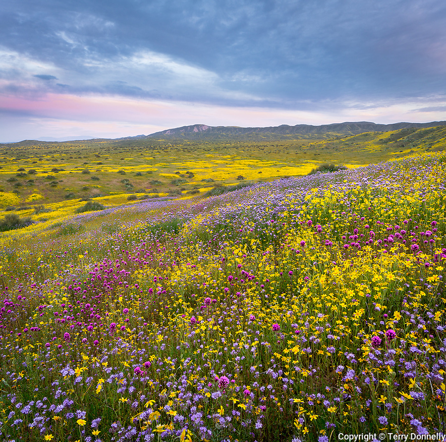 Carrizo Plain National Monument, California:<br /> Spring blooms of owls clover, monolopia and fiddleneck evening clouds over the coastal range