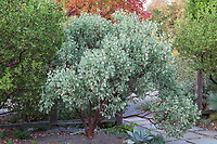 Arctostaphylos viscida - Whiteleaf manzanita, gray foliage native shrub in entry courtyard of Kuzma Garden