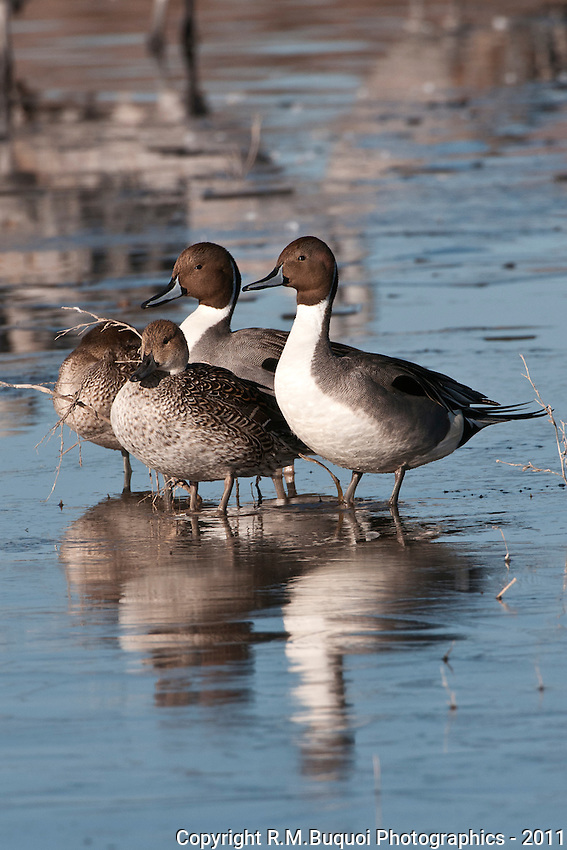 Pintail Ducks on pond at Bosque Del Apache NWR