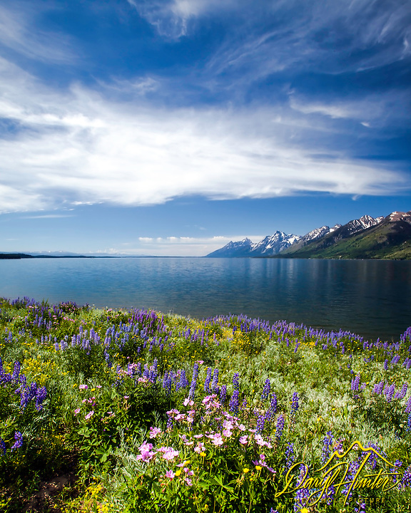 Sticky Geranium & Lupine, wildflowers of Grand Teton National Park