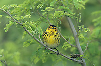 Cape May Warbler, Dendroica tigrina,male, South Padre Island, Texas, USA