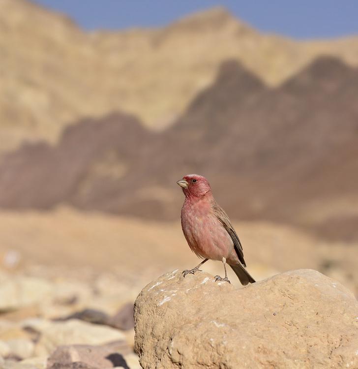 Sinai Rosefinch - Carpodacus synoicus<br /> male