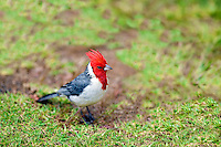 Red-Crested Cardinal (Paroaria coronata). Kauai, Hawaii