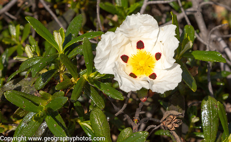 Gum cystic plant in flower, Cistus ladanifer sulcatus, growing on cliffs in Costa Vicentina Natural Park,