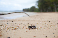 A crab crawls along a beach on the north shore of Kauai, HI