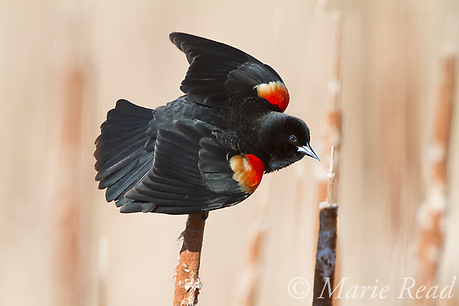 Red-winged Blackbird (Agelaius phoeniceus), male displaying in spring, Ithaca, New York, USA