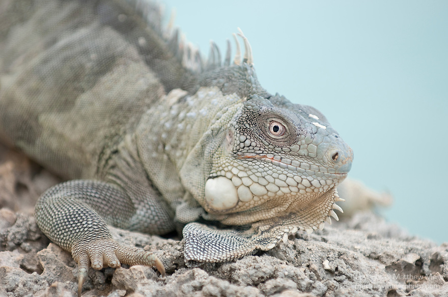 Bonaire, Netherlands Antilles; Green Iguana (Iguana iguana) sits on the rocky cliff overlooking the water at Captain Don's Habitat , Copyright © Matthew Meier, matthewmeierphoto.com All Rights Reserved
