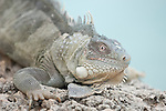 Bonaire, Netherlands Antilles; Green Iguana (Iguana iguana) sits on the rocky cliff overlooking the water at Captain Don's Habitat , Copyright © Matthew Meier, matthewmeierphoto.com All Rights Reserved
