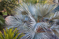 Bismarck Palm (Bismarckia nobilis), silver gray foliage small tropical palm tree in California garden