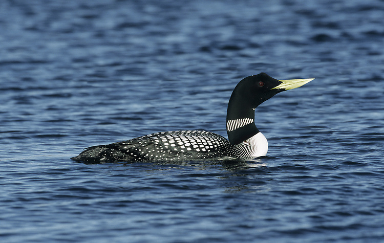 White-billed Diver Gavia adamsii. White-billed Divers usually remain in Arctic seas throughout the winter but a handful of birds turn up around our coasts, usually when the weather to the north of Britain turns really cold.