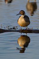 571350013 a wild drake northern pintail anas acuta in a shallow pond at colusa national wildlife refuge califonia