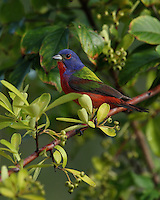 Painted Bunting & early morning natural light.