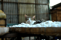 Cat sleeping atop trays of silkworm cocoons. Da Lat, Vietnam