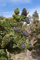 Bristlecone Pines on Mt. Evans Colorado