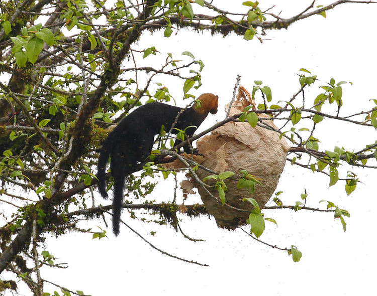 Tayras robbing a bees nest. The tayra is an omnivorous tropical weasel.