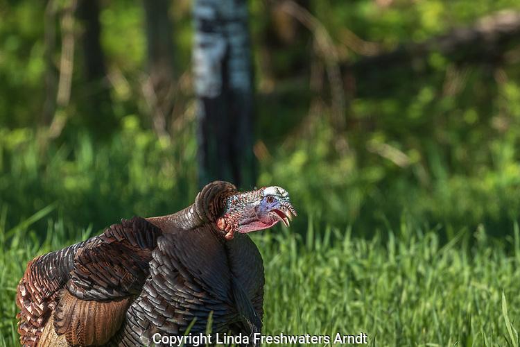 Tom turkey gobbling in a field in northern Wisconsin.