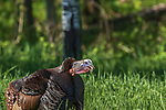 Tom turkey gobbling in a field in northern Wisconsin.