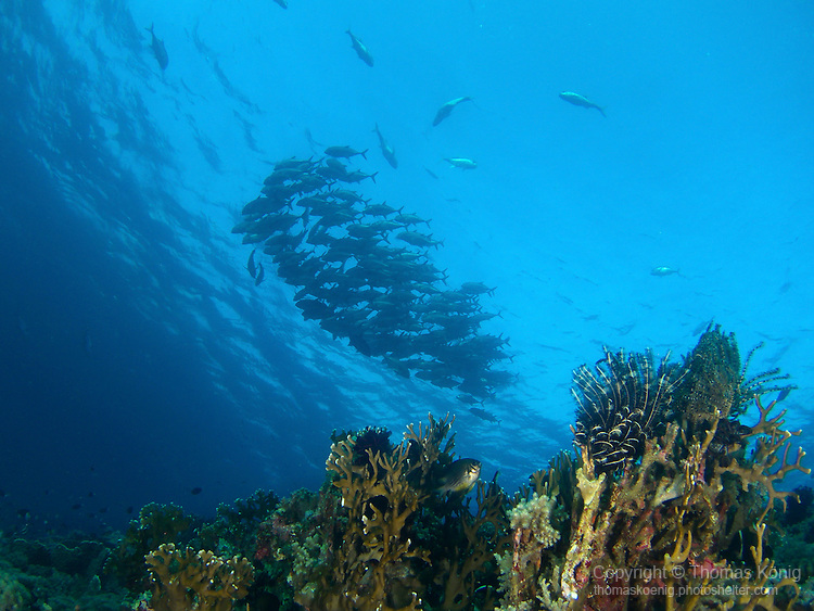 Apo Reef, Sulu Sea -- A school of giant trevally near the surface.