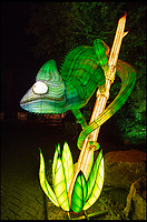BNPS.co.uk (01202 558833)<br /> Pic: PhilYeomans/BNPS<br /> <br /> Colour changing Chameleon... <br /> <br /> As the clocks go back the lights come on at Longleat House in Wiltshire - as the hugely popular Festival of Light switches on.<br /> <br /> The English country estate is transformed with 800 illuminated lanterns to take visitors on a magical journey around the world and under the sea.<br /> <br /> Staff at the popular park attraction say this is their most ambitious event yet, with a team of highly-skilled Chinese artists spending more than 7,000 hours to complete the different stories for A Fantastic Voyage.<br /> <br /> The displays have used more than 25 miles of silk and LED lighting strips, as well as more than 60,000 light bulbs.
