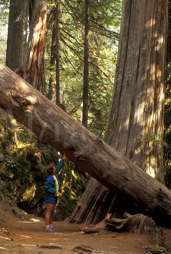 AJ3698, Mount Rainier, Mount Rainier National Park, Cascades, Cascade Range, Washington, Woman stands below huge Douglas-fir and western red cedar trees in Grove of the Patriarchs in Mount Rainier National Park in the state of Washington.