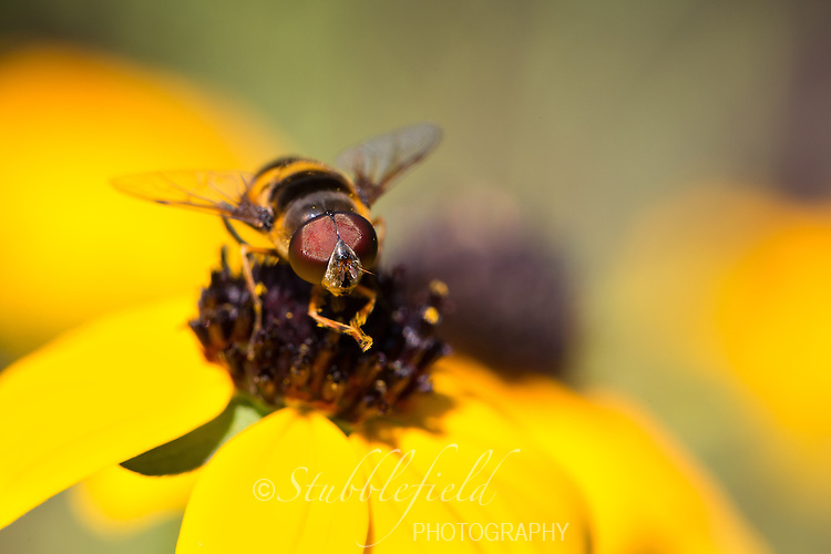Transverse Flower Fly (Eristalis transversa ) on a yellow flower in Central Park, New York City, New York.