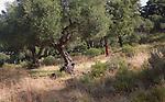 Olive and cork oak trees in Sierra de Grazalema natural park, Cadiz province, Spain