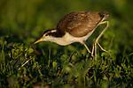 Wattled Jacana (Jacana jacana) chick foraging, Ibera Provincial Reserve, Ibera Wetlands, Argentina