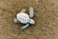 olive ridley sea turtle hatchling, Lepidochelys olivacea, motion blur, Ostional, Costa Rica, Pacific Ocean