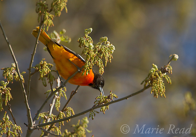 Baltimore Oriole (Icterus galbula) adult male foraging from oak catkins (Quercus sp.), spring, New York, USA