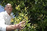 """Foto: VidiPhoto<br /> <br /> DODEWAARD –Bomenprofessor Henry Kuppen, CEO bij kenniscentrum Terra Nostra, controleert tijdens het internationaal seminar """"Climate Trees"""" over klimaatbomen -donderdag in Dodewaard- een eik op de aanwezigheid van de eikenprocessierups. Deze boom blijkt schoon te zijn. Volgens Kuppen is dit dan een van de weinige niet-besmette eiken in Nederland. Inmiddels zijn er zo'n 100.000 Nederlanders geïnfecteerd met de brandharen van de eikenprocessierups. Volgens Kuppen is er maar één oplossing: minder eiken en meer variëteit in het bomenareaal in ons land."""