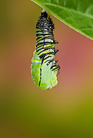 MONARCH BUTTERFLY (Danaus plexippus) instar pupating to begin the pupal stage of its life cycle. Summer, Nova Scotia, Canada.  Series: 1 of 8 images