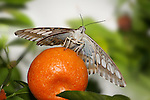Butterfly, Clipper, Resting On An Orange, Parthenos sylvia