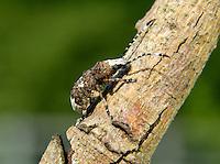 Weevil - Platystomos albinus
