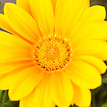 Tucson, Arizona; a yellow Gazania flower in a flower bed