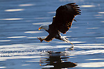Bald Eagle fishing, Alaska