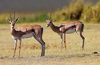Thomsons Gazelles, Ngorongoro Crater, Tanzania