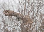 Great Gray Owl (Strix nebulosa), in flight during snowstorm, near Sax-ZIm Bog, Minnesota, USA. Natural behavior, unbaited bird.