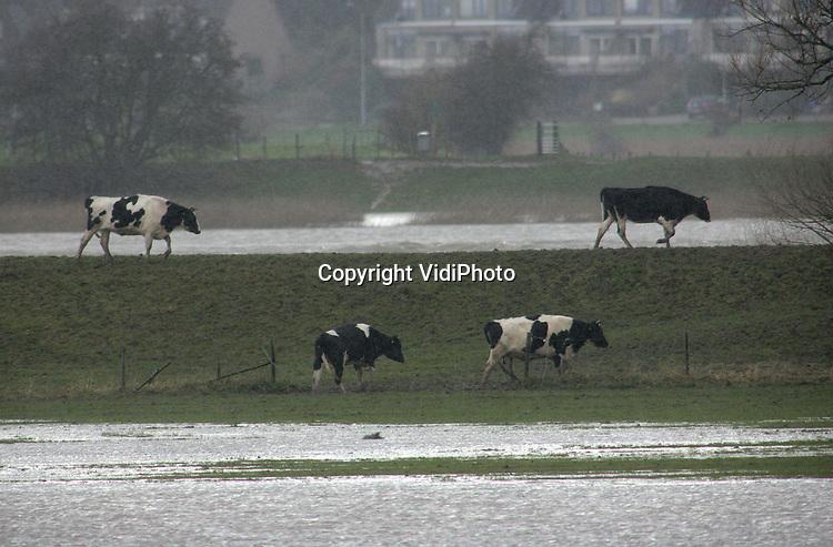 Foto: VidiPhoto..ARNHEM - De uiterwaarden langs Rijn, Waal en IJssel stromen op dit moment vol. De waterschappen waarschuwen boeren hun vee weg te halen. Niet iedereen heeft dat nog gedaan. De eerste veerponten over de grote rivieren zijn maandag al uit de vaart genomen wegens het hoge water. Rijkswaterstaat verwacht dat de waterstand de komende dagen verder stijgt. Het hoge water wordt veroorzaakt door smeltwater vanuit de Alpen en regenwater. Foto: Koeien in de uiterwaarden bij Randwijk tijdens de stromende regen en stijgend Rijnwater.