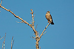 An American Kestrel on the perch.